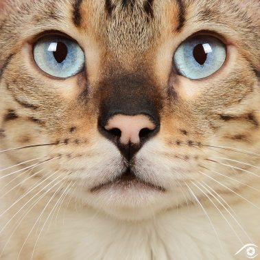 cat chat bengal animal pet photographie photography studio domestic wild portrait nikon snow lynx, close up