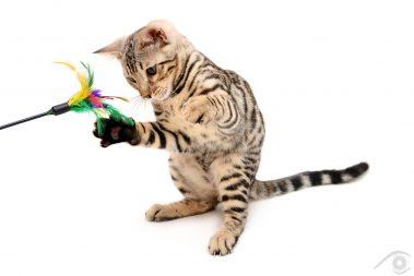 cat chat bengal animal pet photographie photography studio domestic wild portrait nikon silver toy