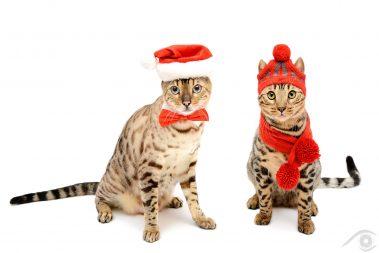 cat chat bengal animal pet photographie photography studio domestic wild portrait nikon snow lynx silver christmas noel