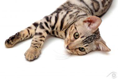 cat chat chats bengal animal pet photographie photography studio domestic wild portrait nikon silver