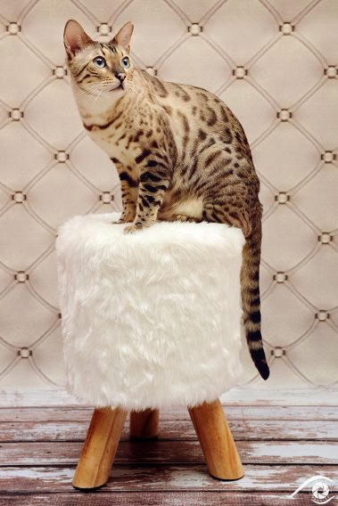 cat chat bengal animal pet photographie photography studio domestic wild portrait nikon snow lynx