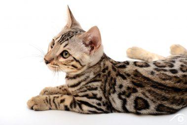 cat chat bengal animal pet photographie photography studio domestic wild portrait nikon silver