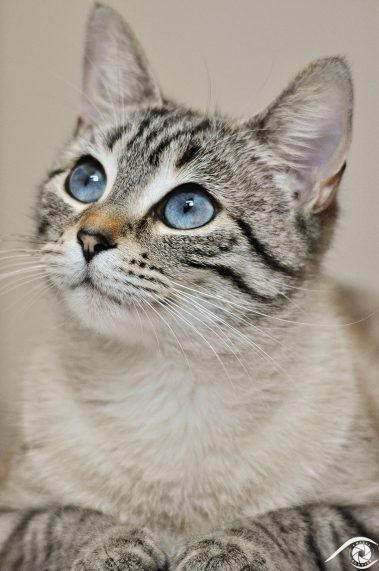 cat chat animal pet photographie photography studio domestic portrait nikon siamois, yeux bleux, blue eyes