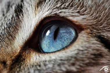 cat chat animal pet photographie photography studio domestic portrait nikon siamois, yeux bleux, blue eyes, close up, macro