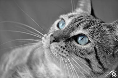 cat chat animal pet photographie photography studio domestic portrait nikon siamois, yeux bleux, blue eyes, noir et blanc