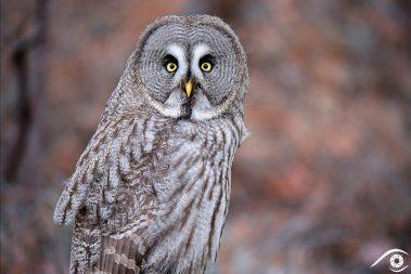 Animal animaux, chouette lapone, Great Grey Owl, oiseau bird amérique america