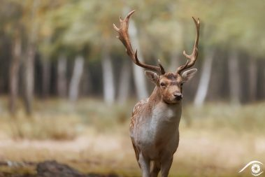 Daim Fallow deer animal animaux divers foret forest europe france nikon d810 photographie photography nature wild sauvage close-up