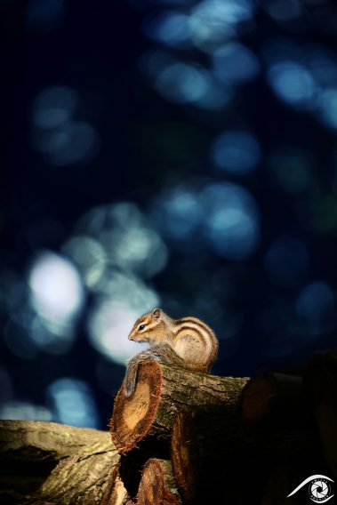 animal animaux brown chipmunk ecureuil, écureuil de corée, forest forêt marron nikon rayé rodent rongeur siberian sibérie squirell tamia sibiricus tamias d800 photographie photography nature, close up, portrait france europe agouti