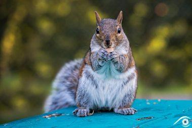 canada québec photographie photography trip travel voyage nikon d800 amérique america nature paysage landscape summer été animal animaux écureuil gris, gray squirrel, forêt forest close up portrait