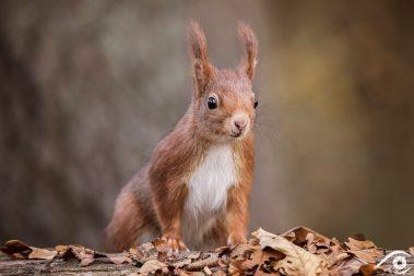 animal animaux écureuil écureuils roux, red squirrel, forêt forest nature photographie photography close up portrait nikon europe france d810 rongeur sciuridés sciurus vulgaris