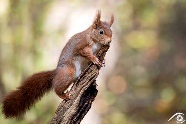 animal animaux écureuil roux, red squirrel, forêt forest nature photographie photography close up portrait nikon europe france d810 rongeur sciuridés sciurus vulgaris