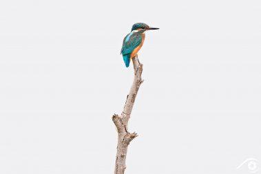 martin-pêcheur martin pecheur kingfisher oiseau bird photographie photography animal nikon d810 europe nature wildlife