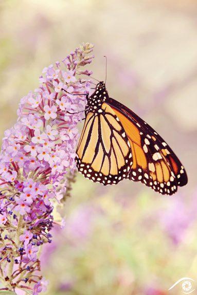 canada québec photographie photography trip travel voyage nikon d800 amérique america nature paysage landscape summer papillon butterfly monarque jardin botanique
