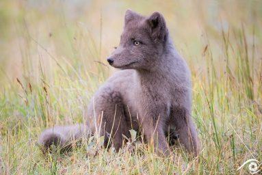 renard polaire, arctic fox, islande iceland photographie photography trip travel voyage nikon d800 renard polaire europe nature paysage landscape summer été animal