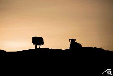 islande iceland photographie photography trip travel voyage nikon d800 europe nature paysage landscape summer été moutons sheeps crépuscule